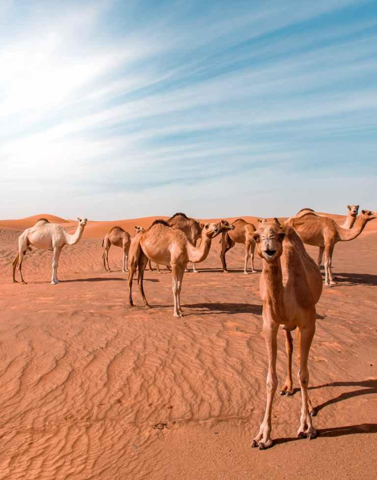 bunch of camels in desert dune